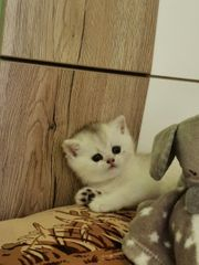 Reinrassiger BKH Kitten