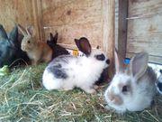 Kaninchen Verk Jungtiere