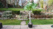 Große Pachira aquatica Glückskastanie Zimmerpflanze