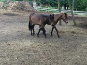 Pferdemist gut abgelagert