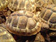 Griechische Landschildkröten Testudo hermanni boettgeri