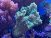 Ableger Fingerleder Koralle