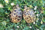 2 subadulte griechische Landschildkröten Weibchen