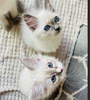 Zuckersüße Heilige Birma Kitten blue