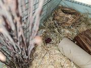 Campbell Hamster Babys