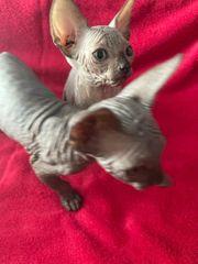 Kanadische Sphynx Kitten