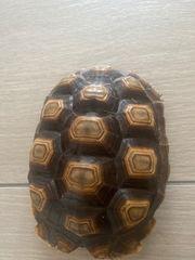 Spornschildkröten