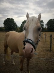 Reitbeteiligung für Sport Pony 148