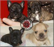 Zeitweise Französische Bulldoggen Welpen mit