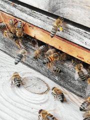 Bienen Wirtschaftsvölker Carnica auf Zander