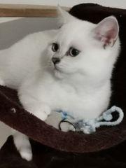 wunderschöne Kitten Babies BKH Stammbaum