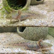 Axolotl Jungtier auszugsbereit Versand möglich