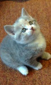 5 süßen BKH-Kitten suchen ein