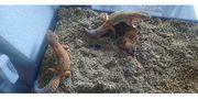 gruppe Leopardengeckos