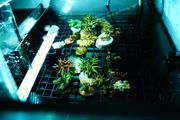 Versch Korallen Ableger Meerwasser SPS