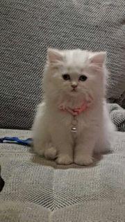 orginale perser kitte