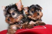 Yorkshire-Terrier-Welpen 1Rüde 1 Hündin