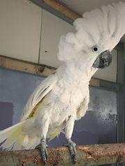 Weißhaubenkakadu
