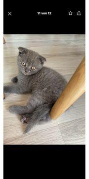 BKH Kitten Abgabebereit