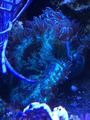 catalaphyllia wunderkoralle Meerwasser