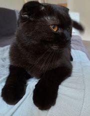 Scottish Fold Katze 2 Jahre