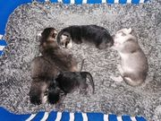 Babykatzen zu verkaufen