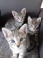 Savannah Mix Katzenpärchen suchen neuen