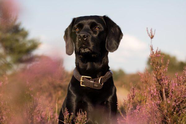 Deckrüde Labrador im Kleinformat 47cm