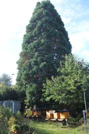 Riesenmammutbaum sequoiadendron giganteum Redwood Holz
