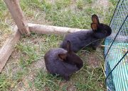 Junge Kaninchen Zwergkaninchen