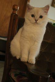 BKH Kitten Silver Shadet Point