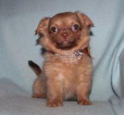 Chihuahua - Welpen und Mini- Chihuahuawelpen