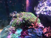 Meerwasser grüne Alveopora Koralle LPS