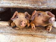 Ferkel Landschwein Durok