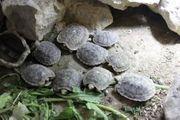 Spaltenschildkröten