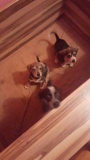 3 welpen Weibchen