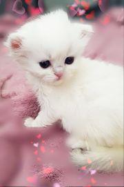 BLH Kitten traumhaft schön