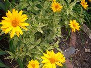 Sonnenauge Heliopsis scabra Lorraine Sunshine