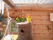 unzertrennliche Liebesvögel Rußköpfchen
