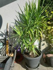 Yucca Palme zu verkaufen