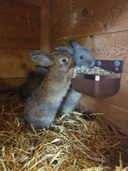 Junge Hasen Stallhasen Kleintiere Kaninchen