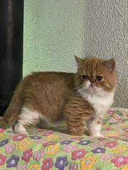 Exotic Shorthair Kitten Kurzhaar-Perser