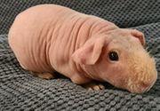 Nackt Meerschweinchen männlich und weiblich