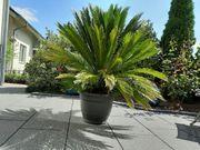 Cycas Revoluta - Palmfarn