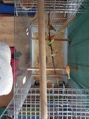 2 Kanarienvögel Kanarienvogel Pärchen mit