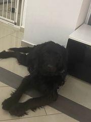 Labrador mischling rüde