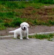 Labrador -Golden Retriever Welpen