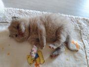 Unsere Wunderschönen reinrassige BKH Katzen