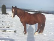 Biete Reitbeteiligung an Quarter Horse