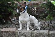 Klein bleibende Jack Russel Junghunde